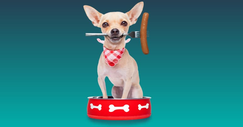 chihuahua clenching hot dog on a fork in its mouth