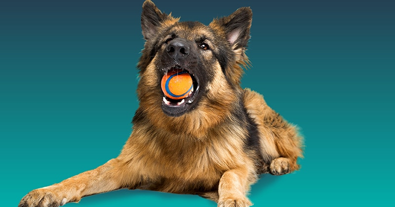 sitting dog with a tennis ball in its mouth